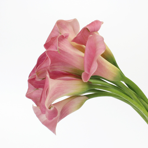 Dusty Rose Calla Lily Flower