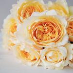 Effie Ausgrey Light Orange Garden Rose Bunch