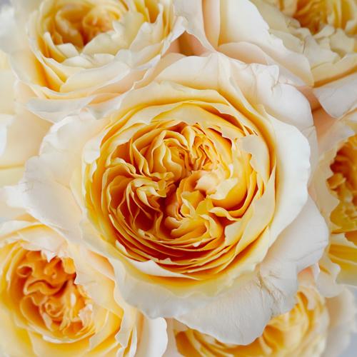 Effie Ausgrey Light Orange Garden Roses up close