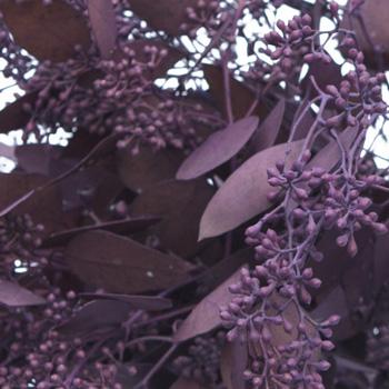 Eggplant Seeded Eucalyptus