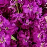 El Aleli Fuschia Stock Wholesale Flower Upclose