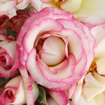 Electra Light Pink and White Spray Roses up close