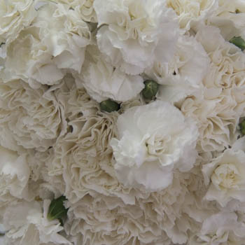 Elegant White Standard and Mini Carnation Pack