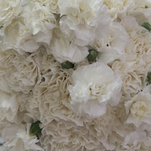 Elegant White Wholesale Carnations Up close
