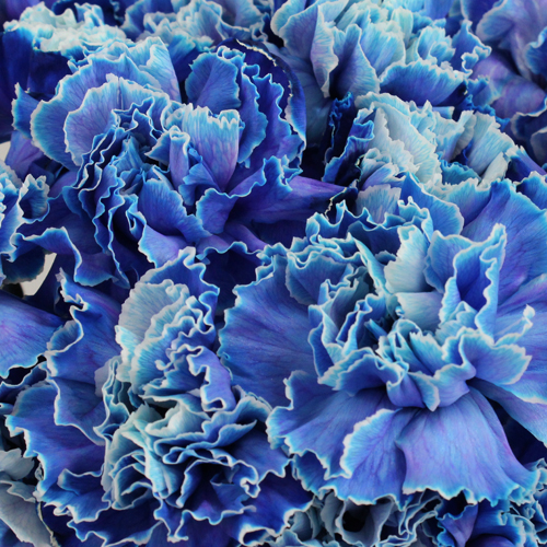 Elite Blue Tinted Wholesale Carnations Up close
