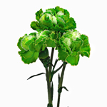 Elite Green Tinted Carnation Flower Bloom