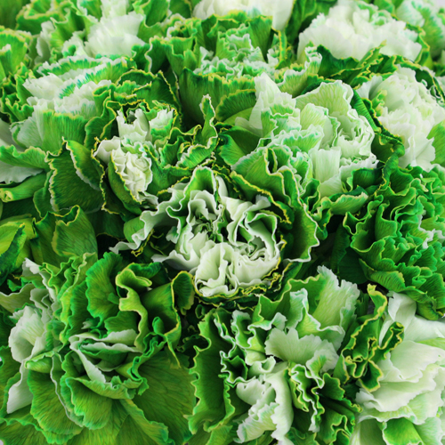 Elite Green Tinted Wholesale Carnations Up close