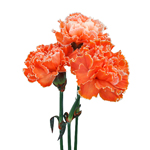 Elite Orange Tinted Carnation Flower Bloom