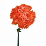 Elite Orange Tinted Carnations side stem