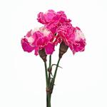 Elite Pink Tinted Carnation Flower Bloom