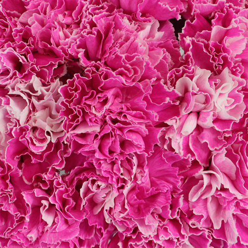 Elite Pink Tinted Wholesale Carnations Up close