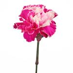 Elite Pink Tinted Carnations side stem