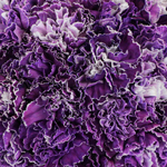 Elite Purple Tinted Wholesale Carnations Up close