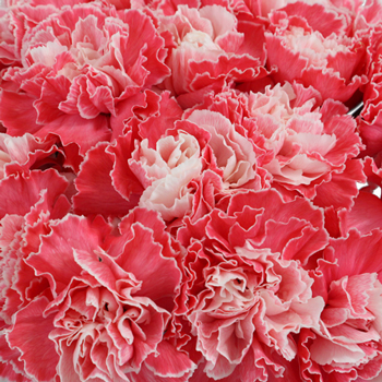 Elite Red Tinted Wholesale Carnations Up close