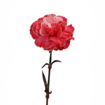 Elite Red Tinted Carnations side stem
