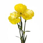 Elite Yellow Tinted Carnation Flower Bloom