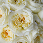 Ella Auswagsy White Garden Roses up close