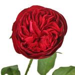 Enticing Red Garden Rose Stem
