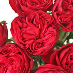Enticing Red Garden Roses up close