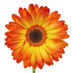 Gerbera Daisy Entourage Sunset Flower Up close