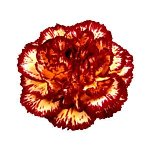 Eruption VF Yellow and Burgundy Carnations bloom