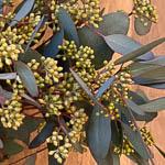 Seeded Eucalyptus Wholesale Flower Up Close