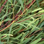 Eucalyptus Nicholi Wholesale Greenery Up Close