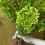 Wholesale greenery dog eye euphorbia filler flowers sold as bulk
