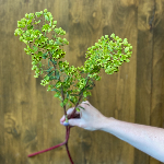 Wholesale Greens Broomcorn