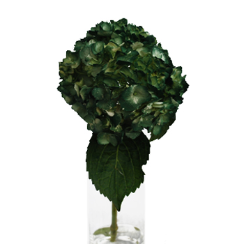 Evergreen Airbrushed Hydrangea Up Close