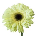 Gerbera Daisy Evergreen Light Green Wholesale Flower Up close