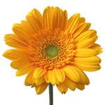 Gerbera Daisy Faith Orange Wholesale Flower Up close