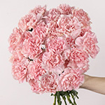Faith Pink Carnation Stem
