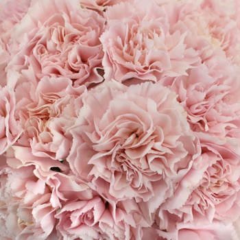 Faith Pink Wholesale Carnations Up close