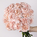 Faith Pink Carnation Bunch in a hand