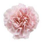 Pink Carnation Flower Faith