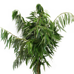 Curly Willow - Buy Bulk FREE SHIPPING!