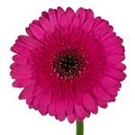 Gerbera Daisy Farao Berry Wholesale Flower Up close