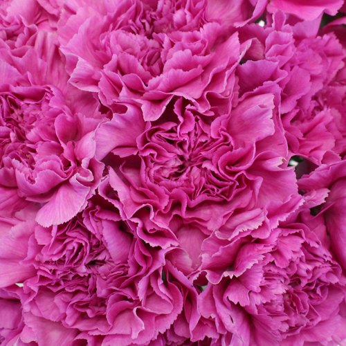 Pink Lilac Fresh Cut Carnations Flowers