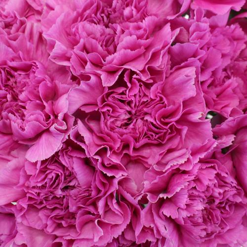 Farida Pink Lilac Wholesale Carnations Up close