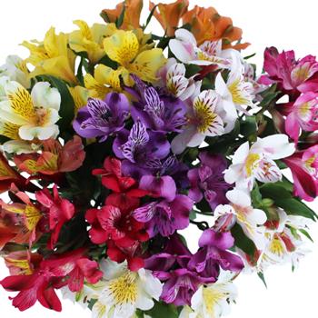Farm Mix alstroemeria Wholesale Flower Upclose