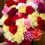 Farm Mix Wholesale Carnations Up close