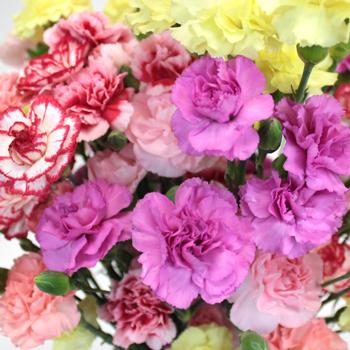 Farm Mix Mini Wholesale Carnations Up close