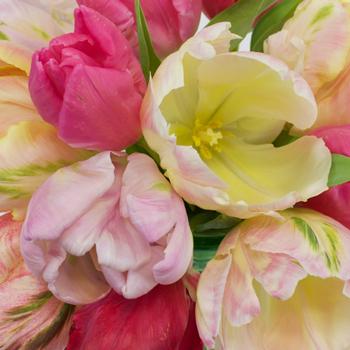 Farm Mix Parrot Tulip Wholesale Flower Up close