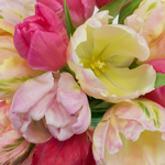 Farm Mix Parrot Tulip Wholesale Flower Up close