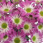 Purple Bulk Novelty Daisy Flower