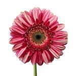 Gerbera Daisy Fiction Hot Pink Wholesale Flower Up close