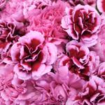 Fierce Pink Wholesale Carnations Up close