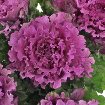 Ruffled Purple Kale Flower