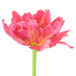 Flashpoint Pink Peony Tulips Wholesale Flower Side Stem